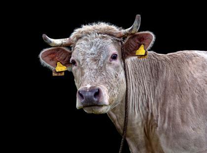 Urządzono obławę na krowę, której udało się uciec przez rzezią. Zwierzę zmarło ze stresu w transporcie