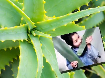 Vlogerka otruła się podczas transmisji na żywo. Myślała, że je aloes, a zjadła trującą agawę!