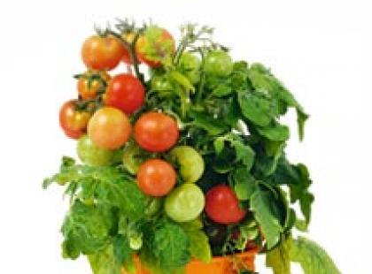 Warto jeść pomidory!