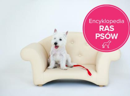West highland white terrier – charakterystyka rasy