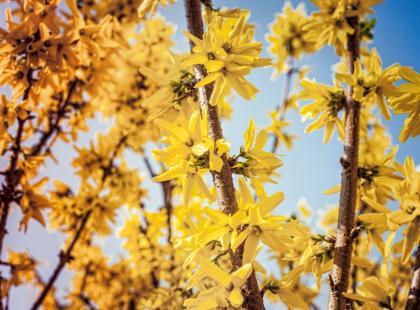 Wiosenne krzewy łatwe w uprawie