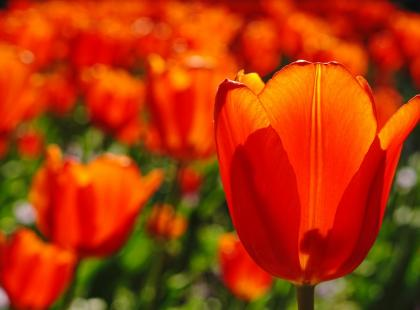 Wszystko, co chcesz wiedzieć o tulipanach: sadzenie i pielęgnacja!