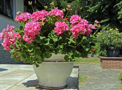 Wszystko, co powinnaś wiedzieć o pielęgnacji pelargonii na balkonie, w ogrodzie i w domu. Przeczytaj!
