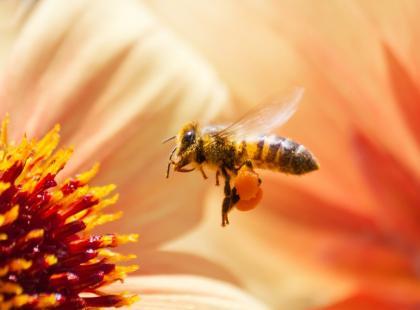 Z forum medycznego: jak zwalczyć alergię na jad pszczeli?