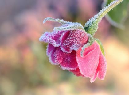 Zabezpiecz róże przed zimą