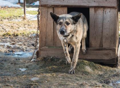 Zakaz trzymania psów na łańcuchach i hodowli zwierząt na futra? Tego chcą polscy posłowie!