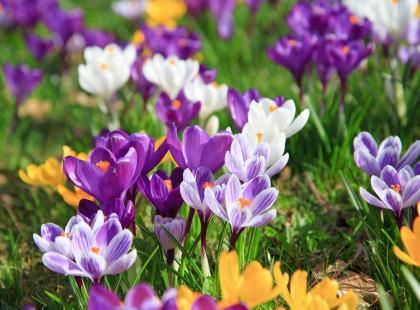 Zakwitły krokusy? To znak, że zbliża się wiosna!