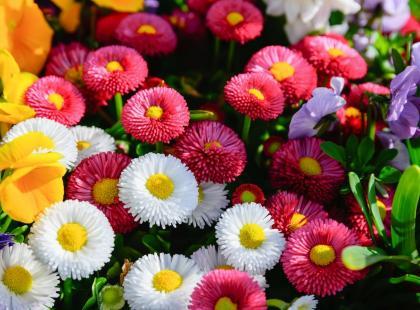 Zasiej stokrotki! Do zimy urosną, a wiosną zakwitną i ozdobią mieszkanie lub ogród