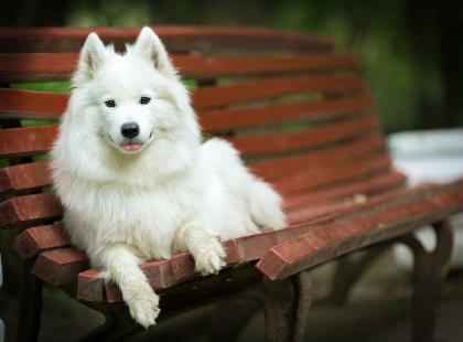 Zawsze wygląda, jakby się uśmiechał. Poznajcie jednego z najbardziej życzliwych psów - oto charakterystyka samojeda!