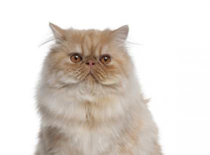 Zdrowa i lśniąca sierść u kota - sposoby pielęgnacji