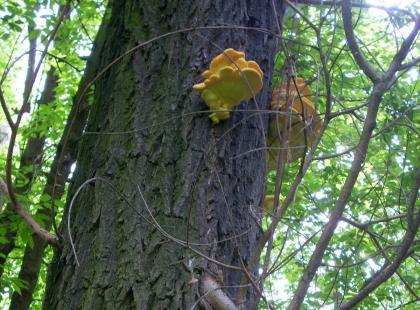 Żółciak siarkowy (Laetiporus sulphureus)