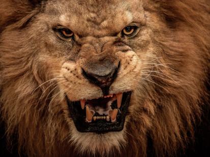Zwierzęta same zadbały o sprawiedliwość? Lwy zjadły kłusowników na terenie rezerwatu w Afryce