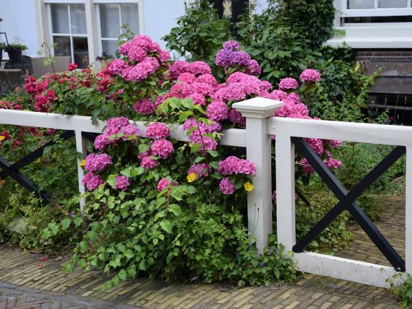 Królowa polskich ogrodów: czytaj więcej na temat hortensji