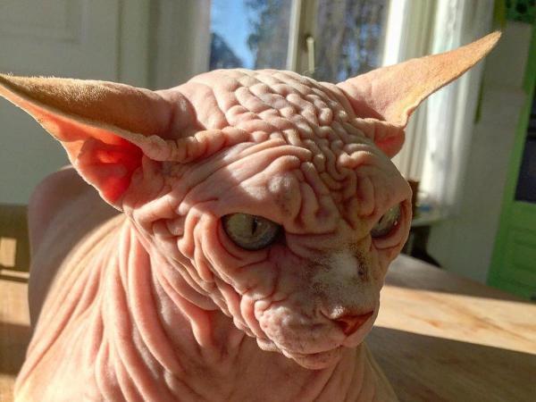 Oto nowa gwiazda internetu! Xherdan jest łysy i pomarszczony. A do tego jaką ma minę!