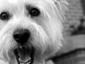 """Żyjące w mieście psy wymagają więcej """"zabiegów czyszczących"""" ponieważ ich włosy i skóra narażone są na kontakt z dużą ilością miejskiego pyłu, zanieczyszczeń i spalin."""