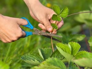 3 rodzaje sadzonek truskawek. Wybierz najlepsze i... wiosną zbieraj owoce!