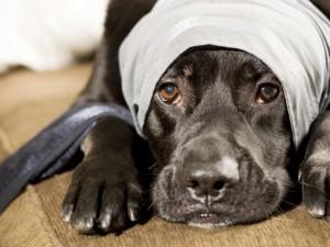 Babeszjoza – co to za choroba psów i jak ją leczyć?