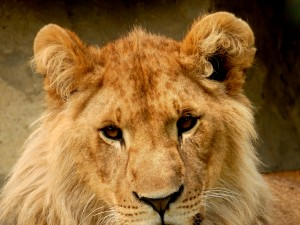 Bajeczka o lwie, którego nic nie cieszyło