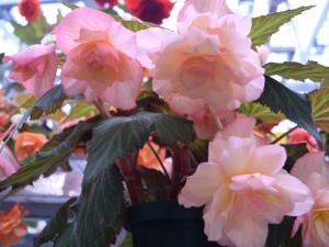 Begonia bulwiasta jest piękna jak róża, ale mniej kapryśna. Zobacz jak ją uprawiać i przechować przez zimę