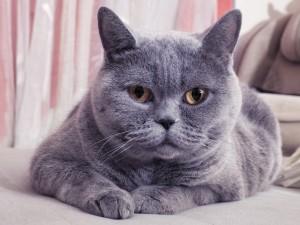Kot Brytyjski Zwierzęta Polkipl