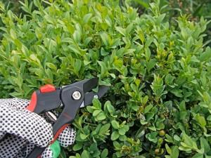 Bukszpanowy ogród - sama przygotuj do niego sadzonki