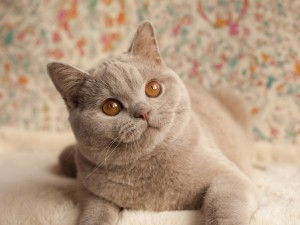 Chcesz mieć spokojnego kota? Wybierz Brytyjczyka!