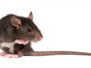 Chory szczur - jak mu pomóc?