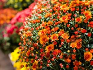 Czas chryzantem. Uatrakcyjnij nimi jesienny dom i ogród. Ich wymagania nie są duże, a uroda – oszałamiająca. Poznaj ich sekrety
