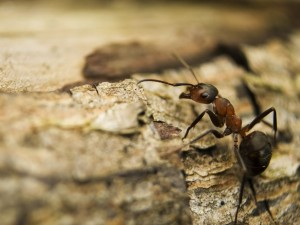 Czy ugryzienie mrówki jest niebezpieczne?