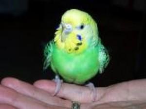 Czy wiesz jak oswoić papugę?