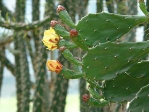 Hoodia Gordonii – odchudzająca roślina