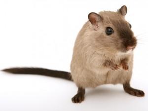 """Najlepsza """"klatka"""" dla myszoskoczka to gerbilarium."""