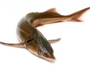 Jakie ryby wykorzystujemy do przygotowania sushi?