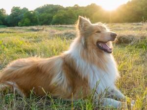 Jeden z psów tej rasy zagrał w filmie mądrą i piękną suczkę Lassie. Wszystkie są nadzwyczajne i mają ogromne możliwości