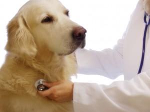 Kaszel u psa - jak leczyć?