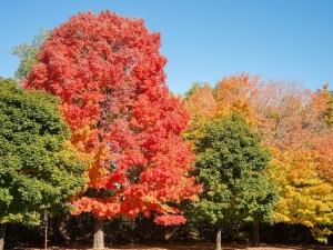 Klon - drzewo, które można pokochać