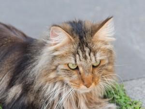 Kot norweski leśny - domowy ryś