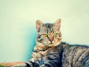 Kot syberyjski - mały tygrys