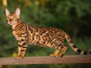 Kot Bengalski Krótka Charakterystyka Rasy Zwierzęta Polkipl