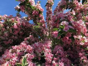 Najpiękniejsze kwitnące krzewy. Posadź chociaż jeden!