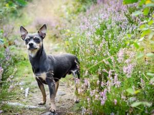 Nie tylko najpopularniejszy pinczer miniaturowy: poznaj charakterystykę psiej rodziny pinczerów