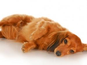 Padaczka a objawy guza mózgu u psa