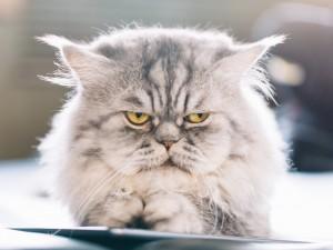 Pers, kot, w którym można się zakochać