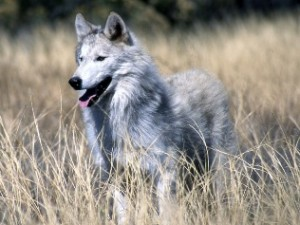 Przysłowia o wilkach
