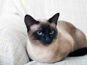 Kot Syjamski Cena Charakter Barwne Odmiany Syjamów Zwierzęta
