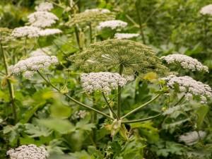 Ta roślina może cię dotkliwie poparzyć… nawet na odległość. Jest szczególnie groźna w upalne dni!