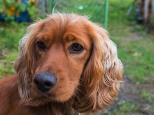 Ten pies może być oszałamiająco piękny, jeśli nauczysz się dbać o jego sierść