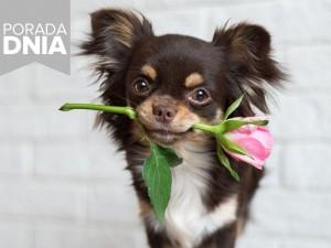 Ten trik to szok! Jak z pojedynczego, ciętego kwiatka wyhodować krzew róży?