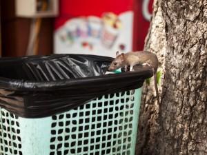 Dziki szczur w śmietniku