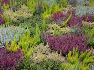 Wrzosy kwitną nie tylko na wrzosowo. Ciekawe odmiany i wymagania. Załóż wrzosowisko w wersji mini lub maxi